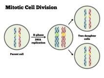 División celular de Mitotic Imágenes de archivo libres de regalías