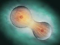 División celular a través de la mitosis ilustración del vector