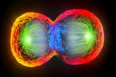 Division cellulaire colorée, membrane cellulaire et noyau de division Photographie stock libre de droits