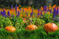 Division pumpkin placed in direct sunlight, Background with flowers Royalty Free Stock Photography