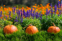 Division pumpkin placed in direct sunlight, Background with flowers Royalty Free Stock Photos
