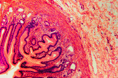 Division pylorique microscopique de cellules du chien d'estomac Image stock