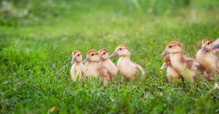 A group of young ducklings, teenage chickens in the farmyard pecking food. Divorce poultry. A group of young ducklings, teenage chickens in the farmyard pecking stock photography