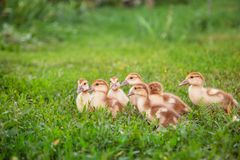 A group of young ducklings, teenage chickens in the farmyard pecking food. Divorce poultry. A group of young ducklings, teenage chickens in the farmyard pecking stock image