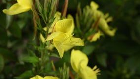 A divulgação do lat de Enotera da flor Oenothera no tempo real 4K vídeos de arquivo