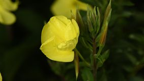 A divulgação do lat de Enotera da flor Oenothera no tempo real 4K filme
