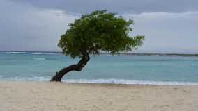 Divy Tree. Solitary Divy Tree in Aruba on the beach Royalty Free Stock Images