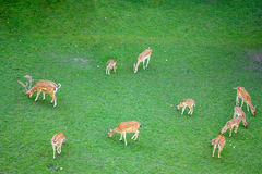 Dix cerfs communs Photos stock