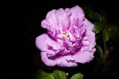 Dixie rosemallow Stock Photography
