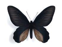 Dixoni de Papilio (Atrophaneura) (varón) fotos de archivo