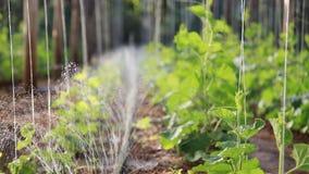 DIY, die automatisch sind, besprühen Wassersystem für das Wachsen Gemüse in der Bauernhof- und Gartenkindertagesstätte stock video footage