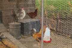 A rooster and hens standing in a chicken coops metal fence. stock photos