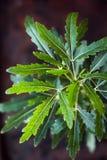 Dizygotheca elegantissima, also known as schefflera or aralia elegantissima. Dizygotheca elegantissima, also known as schefflera or aralia elegantissima Stock Photo