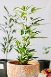 Dizygotheca elegantissima, also known as schefflera or aralia elegantissima. Dizygotheca elegantissima, also known as schefflera or aralia elegantissima Royalty Free Stock Photo