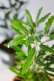 Dizygotheca elegantissima, also known as schefflera or aralia elegantissima. Dizygotheca elegantissima, also known as schefflera or aralia elegantissima Stock Photos