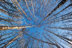 The Dizziness. Heavenly round dance of birches in frosty Russian day Royalty Free Stock Images