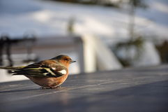Dizzy Chaffinch. This little chaffinch was recovering on a cabin table in Strandvik, Sweden. Half an hour earlier it had hit a window and was a bit dizzy stock photo