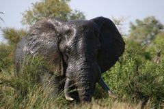 Djärv elefant som är stor och arkivfoton