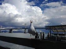 Djärv Seagull i San Francisco, Embarcadero Arkivfoton