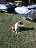 Django som tycker om solen Arkivfoto