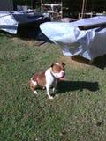 Django som tycker om solen Royaltyfri Foto