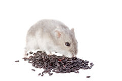 Djungarian hamster Royalty Free Stock Photos