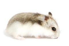 Djungarian Hamster lizenzfreie stockfotos
