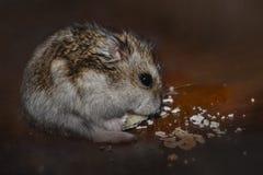 Djungarian hamster Royaltyfri Foto