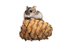 Djungarian hamster with a bumpon white background Stock Photography