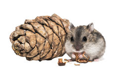 Djungarian hamster with a bumpon white background.  Stock Photography
