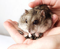 Djungarian hamster in the hands Royalty Free Stock Image