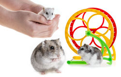 Djungarian hamster Royalty Free Stock Photography