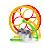 Djungarian hamster Stock Photos