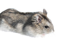 Djungarian hamster isolated on white Royalty Free Stock Images