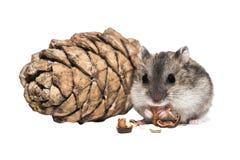 Djungarian hamster med en bumponvitbakgrund Arkivbild