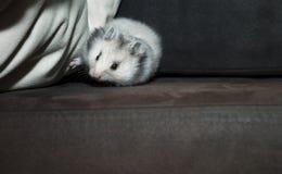 Djungarian-Hamster oder sibirischer Zwerg auf einem schwarzen Hintergrund Lateinisches Name Phodopus-sungorus Konzept höchst lizenzfreie stockbilder