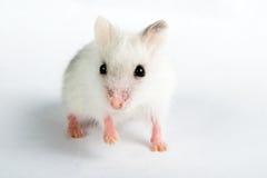 Djungarian Hamster Stock Photos