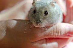 Djungarian hamster Stock Image