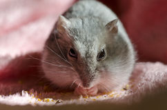 Djungarian hamster Royalty Free Stock Images