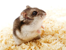 Djungarian hamster in sawdust Stock Photo
