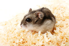 Djungarian hamster in sawdust Royalty Free Stock Images