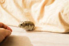 Djungarian hamster stock images