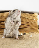 Djungarian Hamster Stock Photography