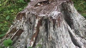 Djungel i Vietnam trä för song för grouseförälskelsenatur wild stock video