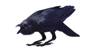 Djungelgalande, Corvusmacrorhynchos, sidosikt Arkivfoton