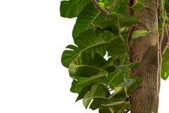 Djungeln för det Monstera gräsplanbladet som kryper växten på trädet som isoleras på vit bakgrund, har urklippbanan arkivbild
