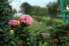 Djungelpelargon (den Ixora coccineaen) Rosa färg fotografering för bildbyråer