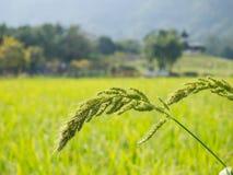 Djungelris eller fågelris i det gröna fältet, naturbakgrund Arkivbilder