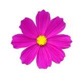 djup blommapink Arkivbild