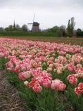 djup holländsk röd tulipfield 2 Arkivfoto